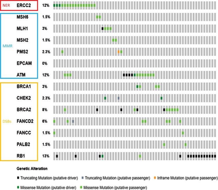 A Mutations in DDR genes occurring the TCGA BLCA data set (n = 130). Note that only cases with variants present are depicted. Figures were generated using Cbioportal [62, 63].