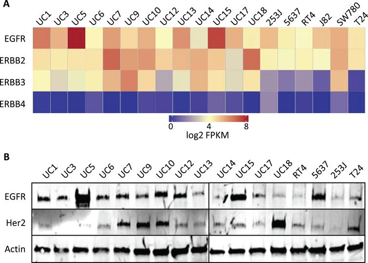 Endogenous RNA and protein expression of ErbB family members. (A) Heat map of the expression of ERBB genes [in log2(FPKM)] in bladder cancer cell lines from RNA-Seq analysis. ErbB family members are listed in the rows (EGFR, ERBB2, ERBB3, ERBB4) and cell lines are listed along the columns. (B) Western blot of whole cell lysates from human bladder cancer cell lines, whose names are listed above each lane, which were probed with EGFR and HER2 antibodies. Actin was used as a loading control.