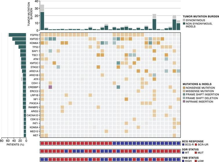 Mutational landscape of high-grade NMIBC. Top to the bottom: tumor mutation burden; somatic mutation pattern of frequently mutated genes (>8%) in 35 NMIBC samples; patient classification according to BCG benefit - responsive (BCG-R - blue) and unresponsive (BCG-UR - red); patient classification according to DDR status –wild-type (blue) and mutated (red); patient classification according to TMB status –high (blue) and low (red).
