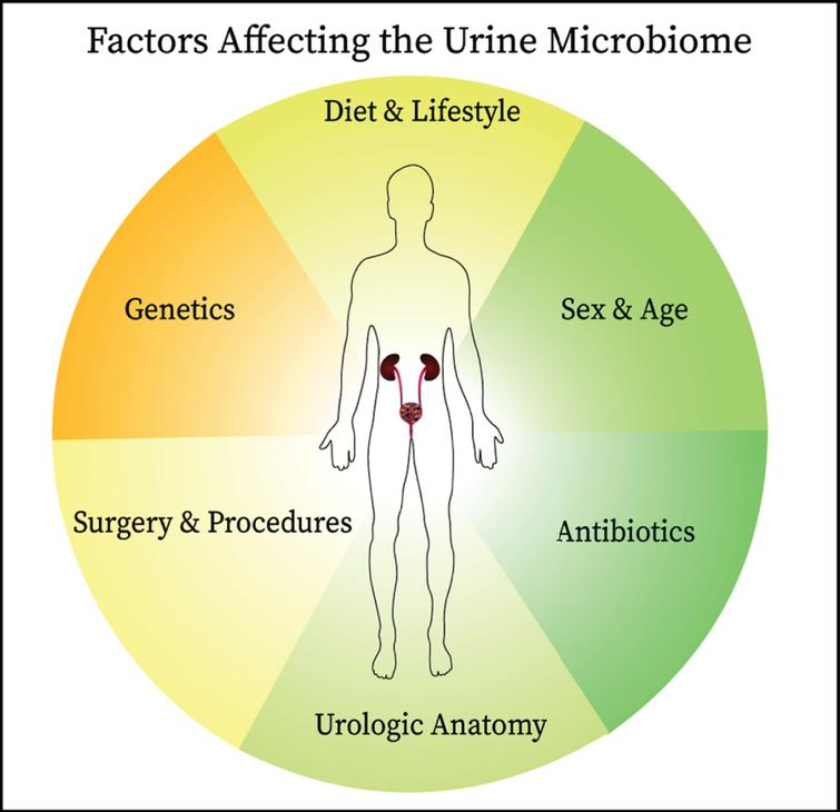 Since the establishment of the presence of commensal microbes in the urinary of healthy individuals, links have been identified between the urine microbiome and bladder cancer oncogenesis and therapeutic responsiveness. The interplay between the urine microbiome and host is complex and affected by other factors including antibiotic use, anatomical structures, surgical manipulation, diet, genetics, and age all are likely to influence the composition of urine microbiome. These factors should be considered when designing studies on the urine microbiome.
