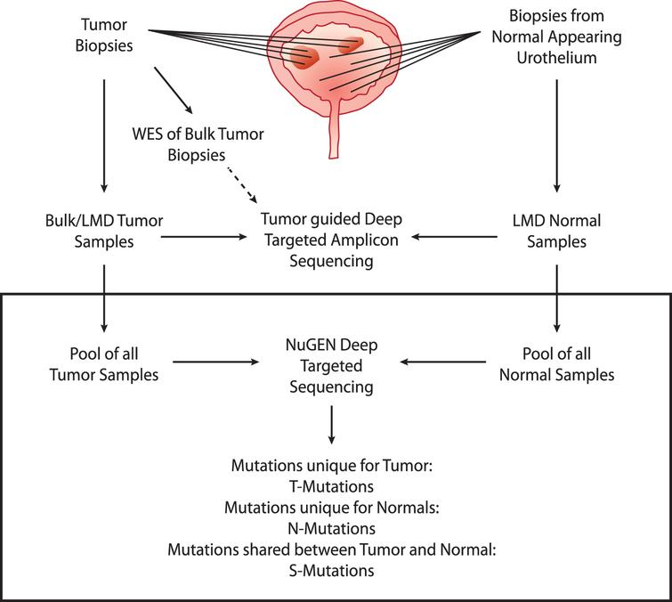 Study design. Upper part: analyses performed previously. WES was performed on bulk tumor samples. Multiple tumor and normal biopsies were laser microdissected (LMD) and subjected to deep-targeted amplicon sequencing guided by the bulk tumor WES. Lower part: present study (black box). Tumor and normal DNA samples were pooled and subjected to deep-targeted amplicon sequencing. Mutation calls were analyzed and grouped into T-Mutations, N-Mutations, and S-Mutations.