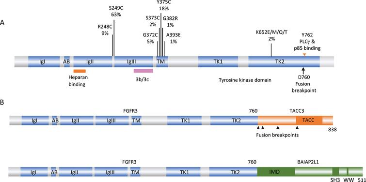 FGFR3 point mutations and translocations in bladder cancer. A. Structure of FGFR3 isoform 3b protein showing position of point mutations. Mutation data taken from tumors of all grades and stages (COSMIC, June 2020). IgI, IgII, IgIII: immunoglobulin-like domains. AB: acid box. TK1 and TK2: split tyrosine kinase domain. 3b/3c: region of exons 8 and 9 where alternative splicing generates isoforms 3b and 3c. B. Examples of FGFR3 fusion proteins identified in bladder tumors. TACC: transforming acid coiled-coil. IMD: IRDp53/MIM homology. SH3: src homology.