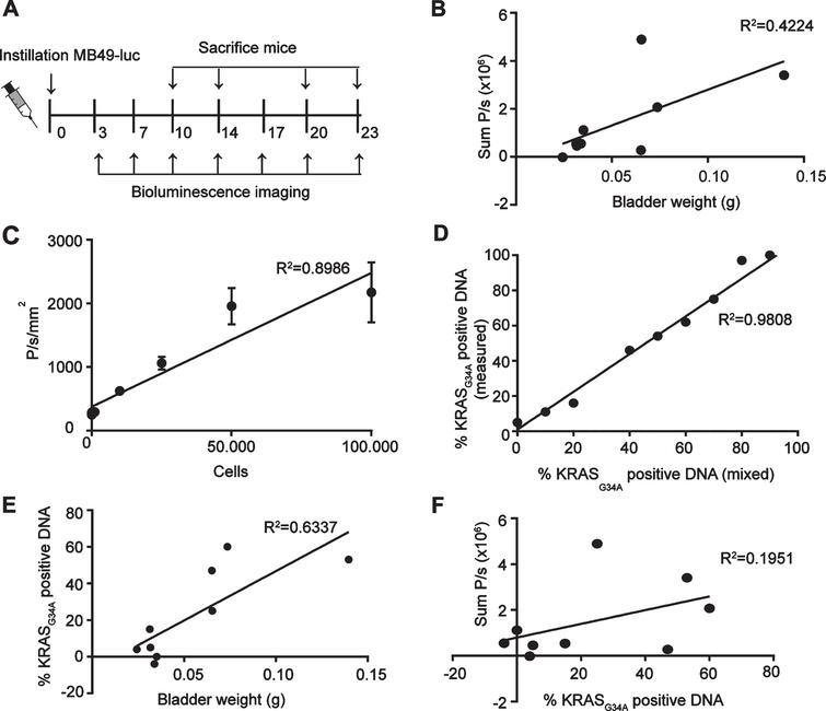 Comparison BLI and bladder weight for analysis of tumor growth. (A) Schematic overview of experimental set-up. (B) Correlation plot of BLI signal over bladder weight (n=9). (C) In vitro analysis of BLI signal of MB49-luc cells. (D) Correlation plot of KRASG34A positive DNA as measured by sequencing over KRASG34A positive DNA as mixed before sequencing. Genomic DNA was isolated from RAW cells (KRASG34) and MB49-luc (KRASA34) and mixed in depicted proportions. (E) Correlation plot of percentage of KRASG34A positive cells as determined by sequence analysis over bladder weight (n=9). (F) Correlation plot of BLI signal and percentage of KRASG34A positive DNA (n=9). (B,E,F) Only bladders with tumors were taken into account.