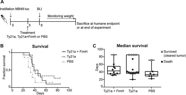 Survival experiment bladder cancer mouse model with Ty21a and FimH treatment. (A) Schematic overview of experimental set-up. Mice received 3*103 MB49-luc cells at day 0 and were treated at day 5. Mice that developed tumors at day 8 according to BLI Ty21a+FimH (n=10), Ty21a (n=15) and PBS (n=7) were included for survival analysis. (B) Kaplan-Meier curve showing survival of mice treated with Ty21a+FimH, Ty21A and PBS. (C) Median survival of different treatment groups. Mice which died and showed a bladder tumor upon macroscopic analysis are presented as filled circles. Mice which showed no sign of a bladder tumor upon macroscopic analysis are considered 'cured'. These are presented as open circles.