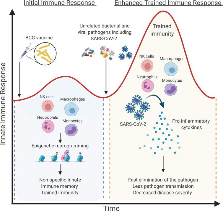 """How BCG-induced trained immunity could prevent SARS-CoV-2 infections. Bacillus Calmette-Guérin (BCG) vaccination or other microbial components can induce a heterologous immunological memory, a process defined as """"trained immunity"""", which results in heightened innate immune responses upon exposure to secondary infections. BCG vaccination will initially stimulate innate immune cells, such as monocytes, macrophages, NK cells and neutrophils, and induce long-term metabolic and epigenetic reprograming resulting in increased responsiveness upon secondary stimulation with either the same or a different microbial ligand. In the context of COVID-19 pandemic, boosting innate immune cells by BCG vaccination and induction of trained immunity might provide nonspecific cross-protection against SARS-CoV-2 infection. Figure created with BioRender.com."""
