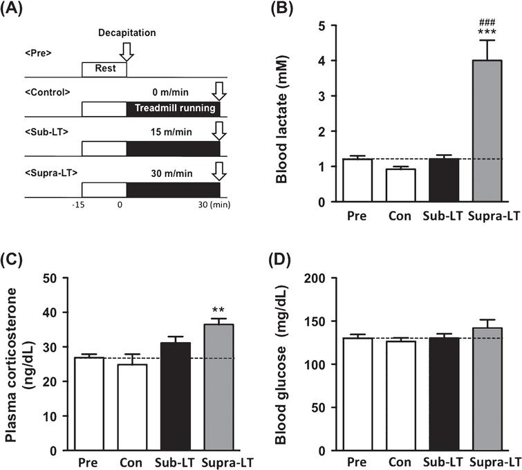 Determination of blood lactate, glucose, and plasma corticosterone after different intensities of exercise (A) Protocols for different intensities of exercise, (B) blood lactate levels (F (3,24)  = 23.47, p <  0.0001), (C) plasma corticosterone levels (F (3,24)  = 6.31, p = 0.0026), and (D) blood glucose levels (F (3,24)  = 1.17, p = 0.34). Data represent the mean ± SEM (n = 7 mice per group). **, p <  0.01, ***, p <  0.001 in comparison with control and # # # , p <  0.001 in comparison to sub-LT (one-way ANOVA Tukey post hoc tests).