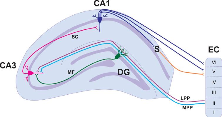 A simplified hippocampal circuitry illustrating trisynaptic and monosynaptic circuits. The basic circuitry of the hippocampus is commonly termed the trisynaptic circuit. Layer II of the entorhinal cortex provides input to the granule cells of the dentate gyrus via the medial (light blue) and lateral (purple) perforant paths. The dentate granule cells project to pyramidal cells of the CA3 via the mossy fibre pathway (green). CA3 pyramidal neurons project to the CA1 via schaffer collaterals (pink). The CA1 pyramidal cells project to both the subiculum and to layers V and VI of the entorhinal cortex. Abbreviations: Cornu Ammonis (CA); Dentate Gyrus (DG); Entorhinal Cortex (EC); Lateral Perforant Path (LPP); Medial Perforant Path (LPP); Mossy Fibres (MF); Schaffer Collaterals (SC); Subiculum (S).
