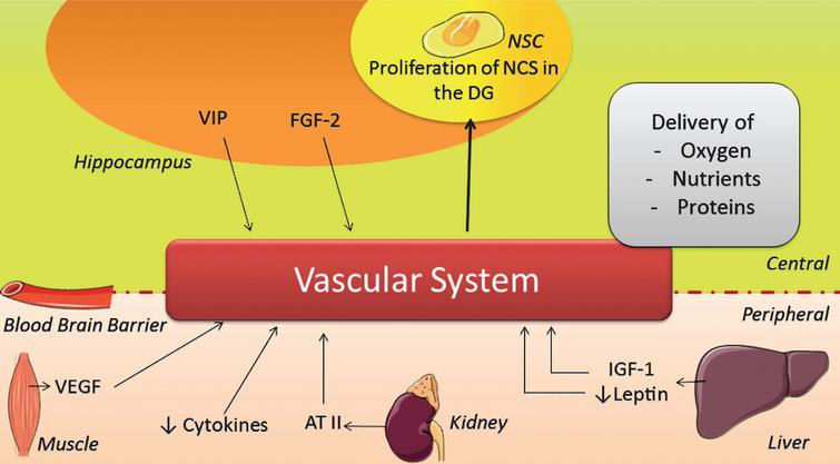 Scheme illustrating the changes induced by physical activity on the vascular system. AT II=angiotensin II; FGF-2=fibroblast growth factor 2; IGF-1=insulin-like growth factor 1; NSC=neuronal stem cell; VEGF=vascular endothelial growth factor; VIP=vasoactive intestinal peptide.