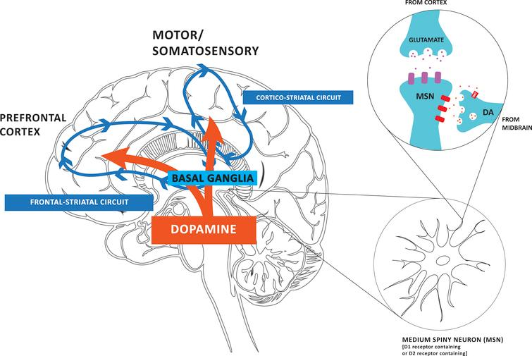 Dopamine (DA) projections play a critical role in modulating both motor and cognitive circuits. Dopamine (DA) from neurons within the substantia nigra pars compacta and ventral tegmental area of the midbrain project to the dorsal lateral striatum of the basal ganglia and the prefrontal cortex, respectively. The earlier and more profound depletion of DA in the dorsal lateral striatum results in impairment in corticostriatal thalamic circuitry, which is important for automatic movements, and consequently greater reliance on frontal striatal circuitry, important for goal-directed motor control in Parkinson's disease (PD). Although affected to a lesser degree, DA loss in the frontal-striatal circuit contributes to cognitive impairments in PD. Animal studies are beginning to reveal evidence for exercise-induced neuroplasticity in motor and cognitive related circuitry in PD and how the two circuits are inter-related.