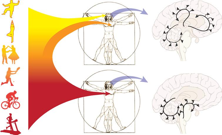 Physical activity spans the spectrum from aerobic to skilled exercise. Recent exercise studies in animal models of PD are beginning to support the differential effects of aerobic versus skilled exercise on the establishment and maintenance of brain circuitry. In this Figure we illustrate these concepts. One potential hypothesis highlights aerobic exercise that may lead to a broad increase in cerebral blood flow, including within those brain circuits in the basal ganglia and cerebellum involved in motor control. Other global factors may also be activated including reduced oxidative stress, reduced neuro-inflammation, and increased expression of neurotrophic factors. This is in contrast to skilled exercise that entails perceptual and a higher level cognitive processing that may specifically target prefrontal and associated cortical circuits important for executive function.