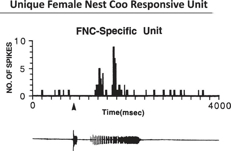 Female Coo Specific Units 960127. Top, Histogram shows the unit's response to the female-nest-coo stimulus presented at 70 +/-5 bB SPL. Bottom, Computer amplitude display of the female nest coo. Courtesy of Cheng et al. J. of Neuroscience 1998;18:5477-5489.