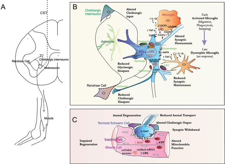 Integrative view of ALS. A. ALS is a result of the degeneration of the motor functional circuitry mainly. In humans, the corticospinal tract (CST) allows monosynaptic connection of cholinergic Betz cells in motor cortex to spinal motor neurons (MNs). At the spinal cord, MNs forme a microcircuitry with interneurons and other MNs to accomplish the efferent motor signaling. Cholinergic interneurons at lamina X synapse in MNs regulate motor behavior and Renshaw inhibitory interneurons receive inputs form MN axon collaterals to synapse, that turn to MNs and conforms a negative feedback regulation. B. ALS can be considered as a multi-component disease that affects synaptic communication. Several terminal boutons that make synapses on MNs are structural or functional affected, such as glycinergic and cholinergic ones. The number of glycinergic synapses from inhibitory Renshaw cells is reduced and the density of these cells has been found decreased in later stages of ALS. Choline acetyltransferase (ChAT) content is early diminished from boutons apposed on MNs and from their terminals on Renshaw cells. Altogether these variations match with the altered recurrent inhibition found in patients and contribute to imbalance in inhibitory/excitatory homeostasis. MNs present altered molecular environment with incapability to accomplish several neuroprotective programs (such as autophagy, unfolded protein response (UPR), proteosomal activity) that lead to a failure in handling protein homeostasis and aggregation, which are related to a reduced neuronal survival. There exists a persistent dysregulation in the endoplasmic reticulum (ER)-mitochondria calcium cycle (ERMCC) that couple energy from mitochondria to protein processing in the ER and participates in AMPA-mediated synaptic activity. This leads to excitotoxicity and abundant reactive oxygen species (ROS) and nitric oxide (NO) production. In addition, difficulties in vesicle trafficking may occur in soma and along the axon that d