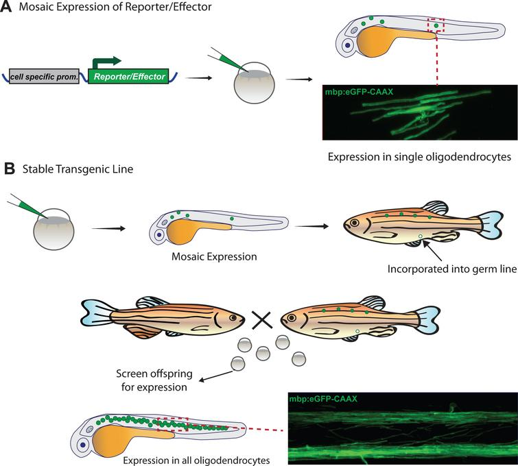 Generation of transgenic zebrafish to visualize myelinating oligodendrocytes. A) Transgenic animals with mosaic fluorescent reporter expression in myelinating oligodendrocytes can be generated by injection of plasmid at the one cell stage, and visualized in the injected animals at early larval stages. B) Transgenic animals with stable expression of a transgene that labels all myelin in the animal are first injected with plasmid as in A, then grown to adulthood. Adults are bred with non-transgenic animals to identify those in which plasmid integration has occurred in the germ-line and which can generate offspring with expression in all myelinating oligodendrocytes.