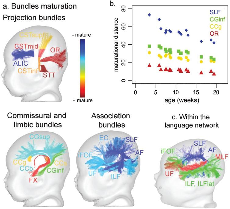 Asynchronous maturation of white matter bundles based on multi-parametric assessment of MRI parameters. a: Relative maturation of projection, commissural, limbic and association bundles during infancy (from the most mature in red to the least mature in blue), evaluated from 3 to 21 weeks of age by a multi-parametric approach that computes the maturational distance relative to the adult stage (adapted from [8, 40]). b. Age-related changes of this maturational distance for the four bundles presented in Figs. 1 and 3 (adapted from [40]). c. Relative maturation within the language network, showing advanced maturation of the ventral pathway (uncinate, middle and inferior longitudinal, inferior fronto-occipital fascicles) compared to the dorsal pathway (arcuate and superior longitudinal fascicles) during infancy (adapted from [43]). The color scales of maturation are not comparable in a. and c. Abbreviations: Projection bundles: ALIC anterior limb of the internal capsule; CST cortico-spinal tract (inf/mid/sup inferior/middle/superior portions); OR optic radiations; STT spino-thalamic tract; Callosal bundles: CC corpus callosum (g/b/s genu/body/splenium); Limbic bundles: CG cingulum (inf/sup inferior/superior parts); FX fornix; Association bundles: AF arcuate fasciculus; EC external capsule; iFOF inferior fronto-occipital fasciculus; ILF inferior longitudinal fasciculus; SLF superior longitudinal fasciculus; UF uncinate fasciculus.