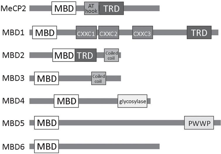 A schematic overview of the MBD family of methyl binding proteins (MBPs) including known protein domains in (MBD, methyl-CpG binding domain; TRD, transcriptional repression domain; AT hook; CXXC, zinc finger Cys-x-x-Cys domain; PWWP, Pro-Trp-Trp-Pro).