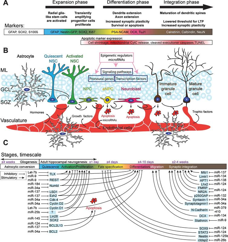 Schematic overview of the hippocampal neurogenic niche, the different processes underlying AHN, and its regulation by microRNAs. A) Overview of the different stages of AHN. Each cell type can be identified by a combination of presence and absence of markers, combined with morphological cellular features. B) Overview of the neurogenic niche and the transition of a NSC into a mature neuron. The complexity of the neurogenic niche, consisting of multiple cell types in close association with the vasculature, allows for both local and distant cell communication. Distant cell communication occurs via factors released in the bloodstream, such as cell-extrinsic miRNAs, growth factors (VEGF and bFGF), hormones, and trophic factors (BDNF). Other cell-intrinsic factors, such as miRNAsm TLX signaling, notch signaling, and REST (purple boxes), and cell extrinsic factors such as HDACs, DNA methylation, and miRNAs (pink box), complete the coordinated regulated of AHN. C) MiRNAs regulate various key pathways important in AHN. Depicted are miRNAs of which a clear link with neurogenesis has been identified, together with their targets through which the miRNAs might exert their effect.
