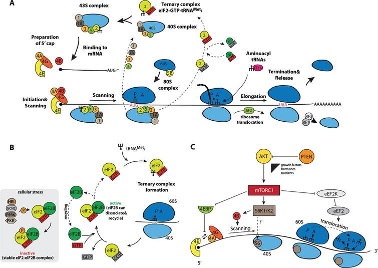 Schematic representation of the process of protein biosynthesis in eukaryotes with main regulatory nodes. (A) Basic steps of translation beginning from the formation of the ternary complex transiting to the 43S complex, which, after loading onto an mRNA, scans the non-translatable region till the recognition of the initiation AUG resulting in the 48S complex assembly. After 60S subunit joining, newly formed 80S ribosomes proceed to elongation moving along the coding sequence until the stop codon appears in the acceptor A site of the ribosomes. This starts up the process of termination and recycling, releasing 40S and 60S ribosomal subunits for a new round of translation on the same or another mRNA molecule. (B) Regulation of the initiation of translation via the phosphorylation of factor eIF2 by stress-activated kinases HRI, PKR, GCN2, and PERK: phosphorylated eIF2 forms a very stable complex with the guanine exchange factor eIF2B exhausting the available pool of free eIF2B, thereby blocking the reaction of GDP-GTP exchange on eIF2. (C) mTORC1-mediated control including phosphorylation of 4E-BPs, S6K1/K2 and eEF2K. For more details, see the main text.