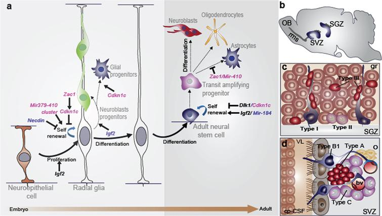 The radial glia nature of embryonic and adult neural stem cells: the role of imprinted genes. (a) There is a continuum of germinal activity that links neuroepithelial stem cells to radial glia and ultimately to the astrocytes that are stem cells in the adult brain. Radial glia in the neocortex produce several major brain cell classes, including neurons and astrocytes, via several rounds of proliferation and differentiation. The roles of the imprinted genes are indicated. Maternally and paternally expressed genes appear in pink and blue respectively. Imprinted genes that show biallelic expression are in black and bold. (b) Sagittal view showing the SVZ and the SGZ neurogenic niches in the adult mouse brain. In the SVZ, neuroblasts reach the olfactory bulb (OB) through the rostral migratory stream (rms). (c) Enlarged view of the SGZ: Type I stem cells (blue) show a radial single prolongation through the granular layer; type II precursors (purple) give rise to neuronal lineage-restricted progenitor type III cells (red) that differentiate into neurons, which in turn integrate into the granular layer (gr). (d) Enlarged view of the SVZ: type B1 stem cells (blue) contact the ventricle with a thin process extending between the ependymal cells (e; grey); transit-amplifying progenitors (TAP) or type C cells (purple) give rise to type A cells (red) and oligodendrocytes progenitors (yellow). Dividing stem cells and their TAP progeny are tightly apposed to blood vessels (bv); the choroid plexus-cerebrospinal fluid system (cp-CSF) is shown.