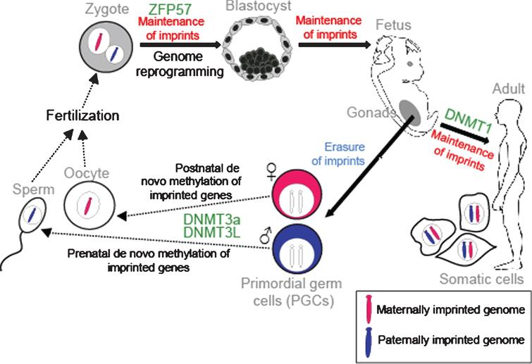 Establishment and maintenance of imprints during development. DNA methylation is erased in PGCs in the genital ridge. However, imprints are maintained in somatic cells throughout the organism's lifetime. Imprints are acquired in a sex-specific manner in the germline: maternally and paternally-methylated ICRs gain DNA methylation in oocytes and sperm respectively for transmission to the next generation. Following fertilisation, the parental-specific imprints are maintained in the developing organism despite genome-wide reprogramming elsewhere. ZFP57 protects imprints during the post-fertilization epigenetic reprogramming period. DNMT3a and DNMT3L catalyse the de novo methylation process and DNMT1 participates in maintaining imprints in somatic tissues.
