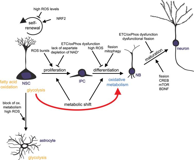 Mitochondrial metabolism-mediated regulation of adult neurogenesis. Schematic drawing summarizing how mitochondrial metabolism influences the distinct developmental steps of adult neurogenesis: neural stem cells (NSCs) generate actively proliferating intermediate progenitor cells (IPCs). IPCs give rise to neuronally committed neuroblasts (NBs) that differentiated into mature neurons. NSCs also generate new astrocytes. Impact of mitochondrial functions on NSC self-renewal, NSCs and IPCs proliferation, differentiation and maturation of progeny is illustrated.