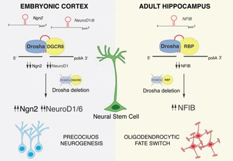 Drosha-mediated post-transcriptional regulation of NSC fate potential. The proneural factors Ngn2, NeuroD1, NeuroD6 and the gliogenic factor NFIB contain evolutionarily conserved hairpin structures in their mRNA sequences that are targeted and cleaved by Drosha. Following Drosha deletion and accumulation of Ngn2, NeuroD1 and NeuroD6, embryonic NSCs precociously differentiate. NFIB accumulation in Drosha cKO hippocampal NSCs induces a fate conversion into the oligodendrocytic lineage.