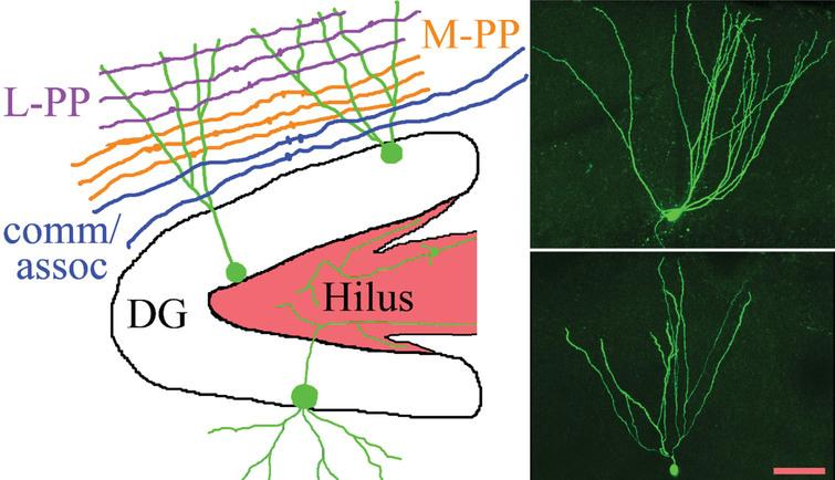 The schematic shows the gross organization of afferent inputs to the molecular layer of the dentate gyrus. Inputs from lateral perforant path (L-PP), medial perforant path (M-PP) and from associational/commissural fibers (comm/assoc) target the outer, middle and inner molecular layer, respectively. Hippocampal granule cells (green) possess cell bodies located in the dentate granule cell body layer (DG) and project dendrites into the molecular layer. Granule cell mossy fiber axons project into the hilus. Micrographs show two biocytin-filled granule cells, revealing the characteristic fanlike spread of the dendritic trees. Scale bar=50μm.