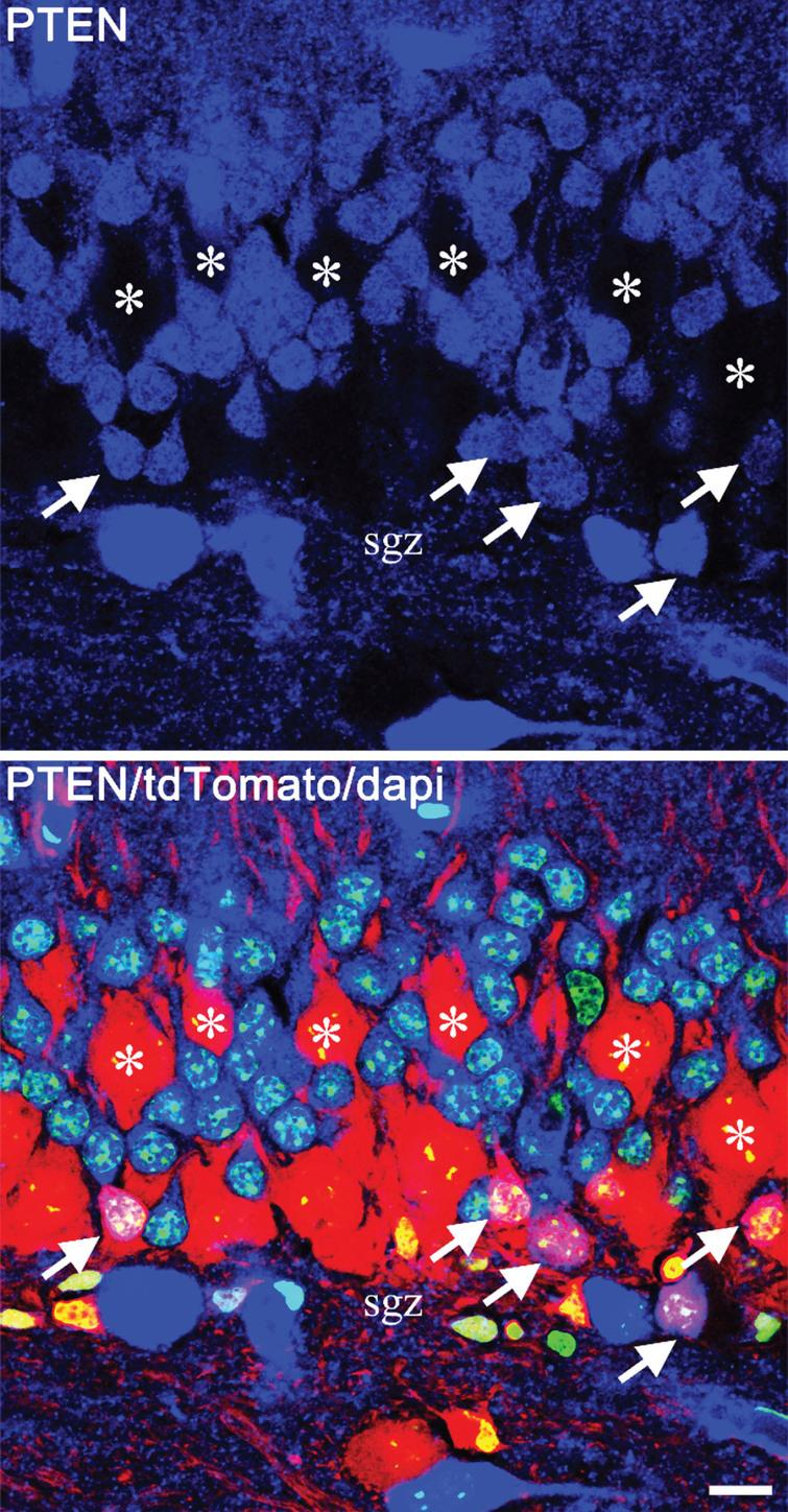 Confocal images showing mosaic deletion of PTEN from newborn hippocampal granule cells in a Gli1-CreERT2, PTENfl/fl, tdTomato reporter mouse. PTEN is shown in blue, tdTomato in red and dapi in green. The top panel shows PTEN alone, and the lower panel shows the merged image. PTEN-expressing newborn cells (arrows) are located in the inner third of the granule cell body layer, close to the subgranular zone (sgz). The much larger PTEN KO granule cells (asterisks), on the other hand, are distributed through the cell body layer, with some migrating close to the molecular layer border. Scale bar=10μm.