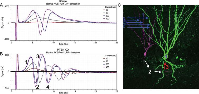 Responses to lateral perforant path (LPP) stimulation of increasing amplitude (60, 80, 200 and 400μA) from a control mouse and a PTEN KO mouse. In slices from the control mouse (A) the field excitatory post-synaptic potential (fEPSP) increased in amplitude with greater stimulation current and was followed by the appearance of a single population spike (negative going event) once threshold was reached. The slice from the PTEN KO mouse (B) also showed increasing fEPSP slope with increasing current, however, multiple population spikes were evoked. C: Hypothesized mechanism for the generation of multiple population spikes. Perforant path stimulation evokes an fEPSP in granule cell dendrites (1) leading to a population spike (2) which creates a secondary fEPSP in a granule cell basal dendrite (3). This recurrent activation provokes a secondary population spike (4). Portions of this image are reprinted from LaSarge et al. [54].