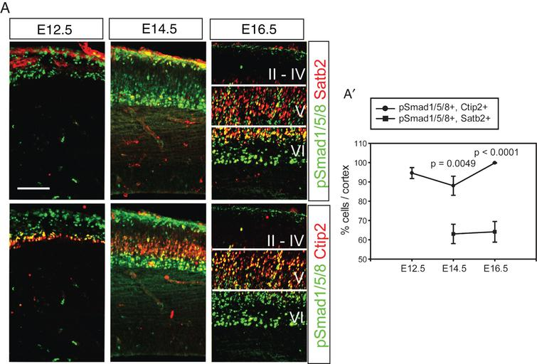 Activation of Bmp signaling in the postmitotic cortical neurons. A) Double staining of pSmad1/5/8 and Satb2 or Ctip2 during cortical neurogenesis. The same section was used to triple label pSmad1/5/8, Satb2 and Ctip2, and separate images are presented to show Satb2- and Ctip2-expressing neurons (red) in the presence of the same pSmad1/5/8 signals (green) in a tissue. A') Double-stained cells were plotted. Error bars represent the SEM. Student's t-test was conducted to determine the statistical significance of the difference between pSmad1/5/8+;Ctip2+ and pSmad1/5/8+; Satb2+ n=3). Scale bars=100 μm.
