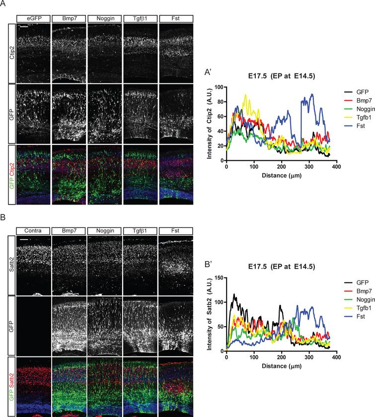 Effect of Bmp signaling on the cortical neuronal distribution. In utero electroporation with Bmp7, Noggin, Tgfβ1, and Follistatin (Fst) and IRES-driven eGFP constructs was conducted at E14.5 in CD1 mice. Three days after the electroporation, eGFP-expressing neurons were co-stained for Ctip2 (A) or Satb2 (B). A', B') Intensities of Ctip2+ and Satb2+ neurons in the electroporated field were plotted using the plot profile function in ImageJ software, and results from one representative experiment are shown (n=3). For a control image of Satb2, the contralateral side of the electroporated brain (A) is used. Scale bars=100 μm.