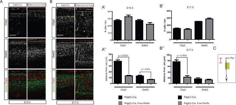 """Distribution of cortical neurons in the Pdgfrβ-Cre;Foxc1flx/flx meningeal mutant. Embryonic brains were stained for Satb2 or Ctip2 at E15.5 (A) and E17.5 (B). The numbers of Ctip2+ and Satb2+ neurons were plotted (n=4, A', B'). The distances between the pia and the Ctip2+ or Satb2+ neurons closest to the pia were plotted (n=4, A"""", B"""") (refer to the drawing in C). Error bars represent the SEM. Student's t-test was conducted to determine the statistical significance of the difference between the control and mutant embryos. The red dotted lines and the yellow dotted lines represent the pia and the sixth-closest Ctip2+ neurons to the pia, respectively. Scale bars=100 μm."""