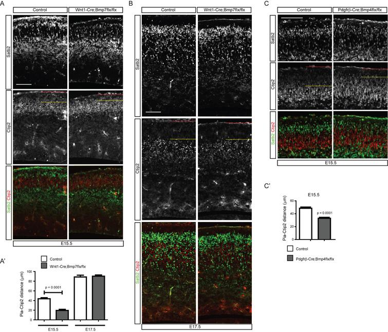 Distribution of cortical neurons in the meninges-specific Bmp mutants. A) E15.5 embryonic brains of Wnt1-Cre;Bmp7flx/flx mutants and their control littermates were stained for Ctip2 or Satb2. A') The distance of the pia and the Ctip2+ neurons were plotted (n=3). B) E17.5 embryonic brains of Wnt1-Cre;Bmp7flx/flx mutants and their control littermates were stained for Ctip2 or Satb2 (n=3). C) E15.5 embryonic brains of Pdgfrβ-Cre;Bmp4flx/flx mutants and their control littermates were stained for Satb2 or Ctip2. C') The distances between the pia and the Ctip2+ neurons were plotted (n=3). The red and yellow dotted lines represent the pia and the Ctip2+ neurons closest to the pia, respectively. Student's t-test was conducted to determine the statistical significance of the difference between the control and mutant embryos. Scale bars=100 μm.