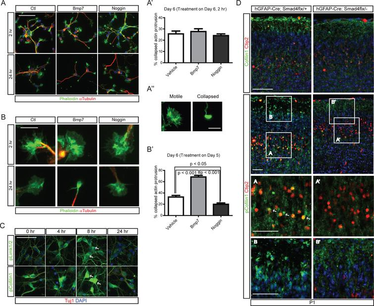 """Cytoskeletal changes in cortical neurons induced by Bmp signaling through regulation of cofilin-1 activity. A) E15.5 cortices were used to establish cortical neuronal culture for 5 days in vitro, when more than 50% of the neurons were positive for Ctip2+ (data not shown). Cells were treated with Bmp7 (20 ng/ml) or Noggin (40ng/ml) for 2hr on day 6 or 24hr on day 5 (A) and collected at the same time on day 6 (n=3). B) High-magnification images of representative cells are presented. The numbers of cells having motile or collapsed neurites (A"""") were plotted for the 2hr and 24hr treatments (A', B'). We defined a neuron as having collapsed neurites when it had more than two collapsed neurites, and we counted more than 100 neurons with fewer than 3 neurites. C) Cortical neurons (Tuj1+, red) cultured for 5 days in vitro were stained for phospho-Limk1/2 (pLimk1/2, green) or phospho-cofilin-1 (pcofilin-1, green) after treatment with Bmp7 (20ng/ml) (n=3). Tuj1 signal is not presented separately. D) P1 hGFAP-Cre;Smad4flx/- mutants and their control littermates were stained for cofilin-1, Ctip2 (top panels) and pcofilin-1 and Ctip2 (middle panels). High-magnification images from the boxed areas in the middle panels are presented in the bottom panels (n=3). Student's t-test was conducted to determine the statistical significance of the difference between the groups (n=3). Scale bars=10 μm (A', B), 50 μm (A, C), 100 μm (D)."""