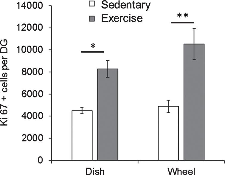 Both dish running and wheel running significantly enhanced hippocampal cell proliferation in Fmr1 KO mice. Short-term running on wheels and dishes significantly increased the number of Ki67 positive proliferating cells in Fmr1 KO mice. *p < 0.05; **p < 0.005.