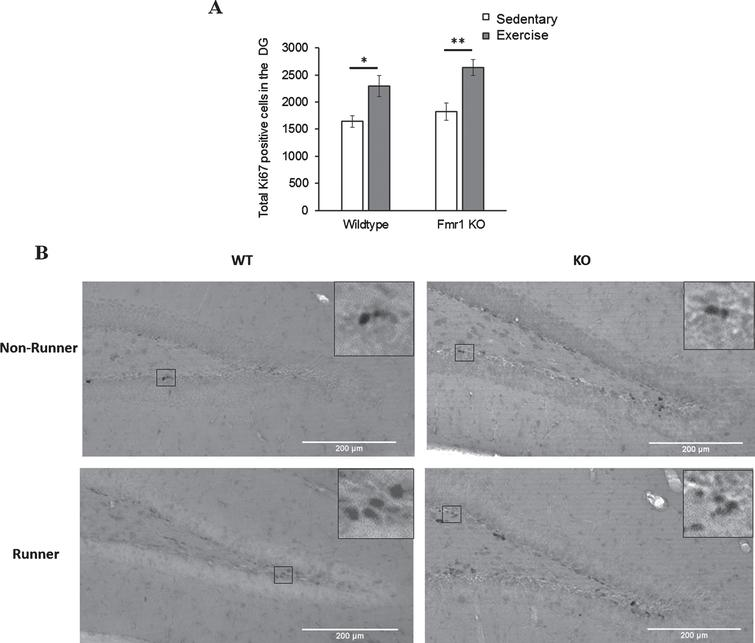 Effects of short-term running in hippocampal cell proliferation. (A) Short-term (7 days) running enhanced the number of Ki67 positive cells in the DG in WT (*p < 0.05) and Fmr1 KO mice (**p < 0.005), indicating acute running can enhance hippocampal proliferation in both WT and Fmr1 KO mice. (B) Representative images of Ki67 positive cells. Scale bar: 200μm.