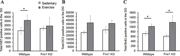 Effect of long-term running on hippocampal neurogenesis. (A) Long-term running enhanced hippocampal cell proliferation in WT, but not in Fmr1 KO mice. (B) Long-term running did not show significant effect on increasing number of immature neurons. (C) Long-term running significantly increased number of BrdU positive cells in both WT and Fmr1 KO mice (*p < 0.05).