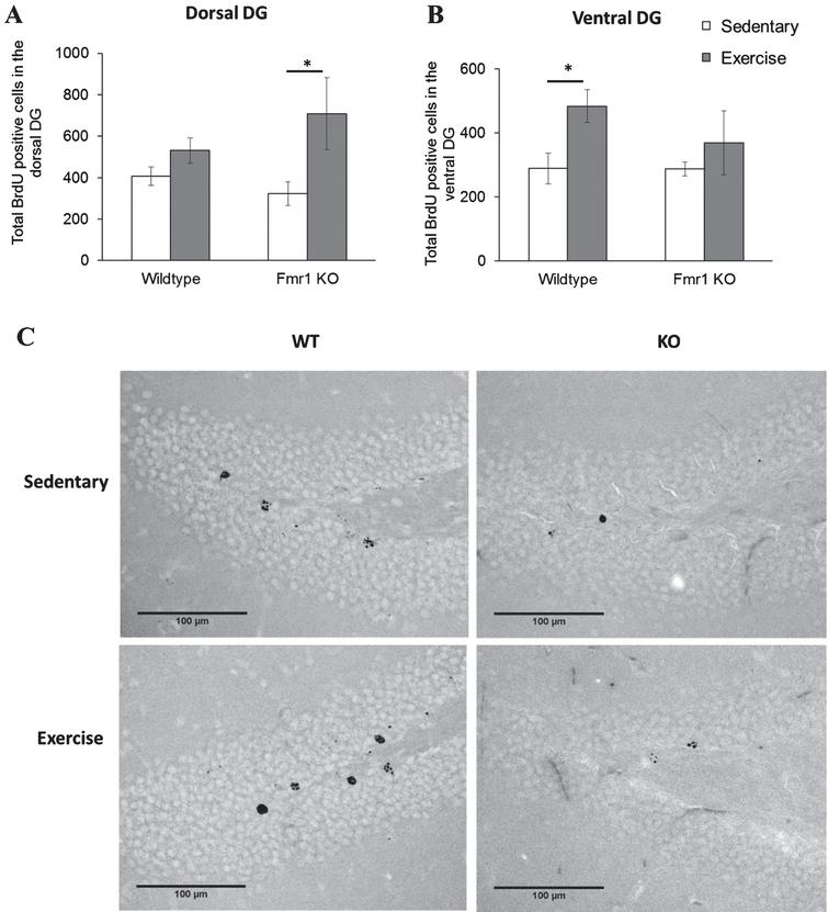 Chronic exercise modifies cell survival rate in FMR1 KO mice. (A) The number of BrdU-positive neurons in dorsal hippocampal dentate gyrus significantly increased after long term running paradigm in FMR1 KO mice. (B) In the ventral dentate gyrus, running did not modify cell survival in the FMR1 KO mice, while in WT animals there was a significant increase in BrdU-positive cells (*p < 0.05). (C) Representative images of BrdU-positive cells in the hippocampal dentate gyrus. Scale bar: 100μm.