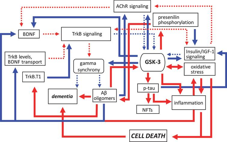 Pathogenic feedforward loops in Alzheimer's disease converge on GSK-3. In AD, several cellular, and bidirectional, processes work in concert to increase GSK-3 activity. These include deficits in cholinergic, BDNF/TrkB, and insulin or IGF-1 signaling, mitochondrial dysfunction leading to oxidative stress, and production of Aβ oligomers. This increase in GSK-3 activity further suppresses cholinergic, BDNF/TrkB, and the insulin/IGF-1 signaling pathways, and additionally promotes tau hyperphosphorylation and inflammation, and the disruption of gamma synchrony. The production of Aβ oligomers also increases due to GSK-3-mediated presenilin phosphorylation. Together these processes contribute to the onset of dementia. Positive regulation (red arrows) and negative regulation (blue arrows) of each pathway and/or process are shown. Changes in the overall activity of these pathways compared to normal conditions are represented by the solid arrows (increased activation) and dotted arrows (decreased activation). Aβ, amyloid-β; AChR, acetylcholine receptor; BDNF, brain-derived neurotrophic factor; GSK-3β, glycogen synthase kinase-3β; IGF-1, insulin growth factor 1; NFTs, neurofibrillary tangles; TrkB, tropomyosin receptor kinase B; TrkB.T1, truncated tropomyosin receptor kinase.