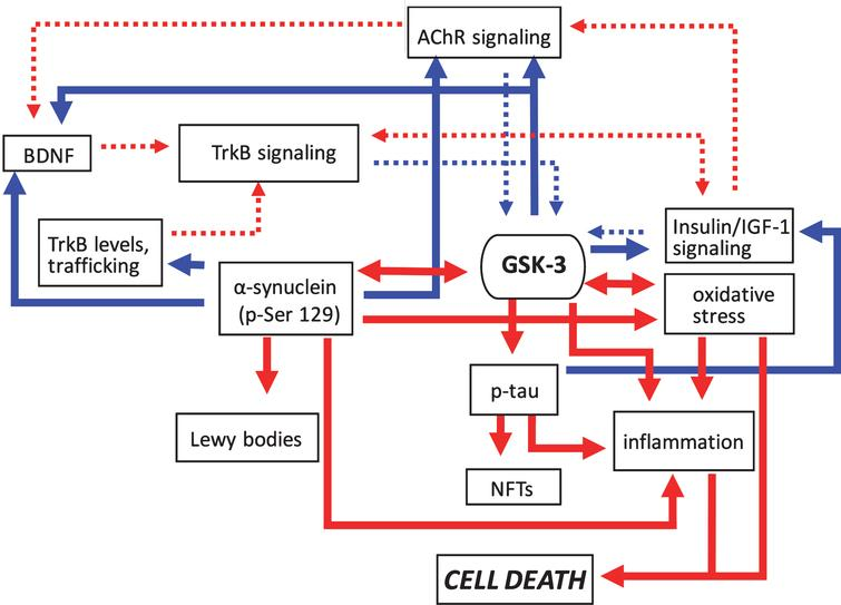 Pathogenic feedforward loops in Parkinson's disease converge on GSK-3. In PD increased GSK-3 activity can arise as a result of deficits in cholinergic, BDNF/TrkB, and insulin or IGF-1 signaling, and mitochondrial dysfunction leading to oxidative stress. Consequently, increased GSK-3 activity results in enhanced tau and α-synuclein phosphorylation leading to proteinopathy, and induces inflammatory responses. GSK-3 activation also has additional impacts on oxidative stress. Positive regulation (red arrows) and negative regulation (blue arrows) of each pathway and/or process are shown. Changes in the overall activity of these pathways compared to normal conditions are represented by the solid arrows (increased activation) and dotted arrows (decreased activation). AChR, acetylcholine receptor; BDNF, brain-derived neurotrophic factor; GSK-3β, glycogen synthase kinase-3β; IGF-1, insulin growth factor 1; NFTs, neurofibrillary tangles; TrkB, tropomyosin receptor kinase B; TrkB.T1, truncated tropomyosin receptor kinase.