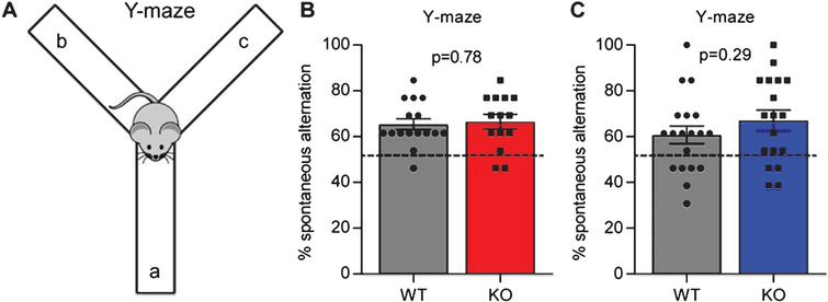 Gpc4 KO mice show no deficits in working memory. A. Schematic of the Y-maze used to test spontaneous alternation and working memory. B. Gpc4 KO and WT P90 mice on a C57Bl6/J background perform better than chance in the Y-maze spontaneous alternation test, with no significant difference in performance between genotypes. N = 16 WT, 14 Gpc4 KO. C. Gpc4 KO and WT P90 mice on an FVB background perform better than chance in the Y-maze spontaneous alternation test, with no significant difference in performance between genotypes. N = 19 WT, 18 Gpc4 KO (FVB). Statistics by T-test, bar graph mean±s.e.m., individual points represent mice, dashed line represents chance (50% spontaneous alternation).