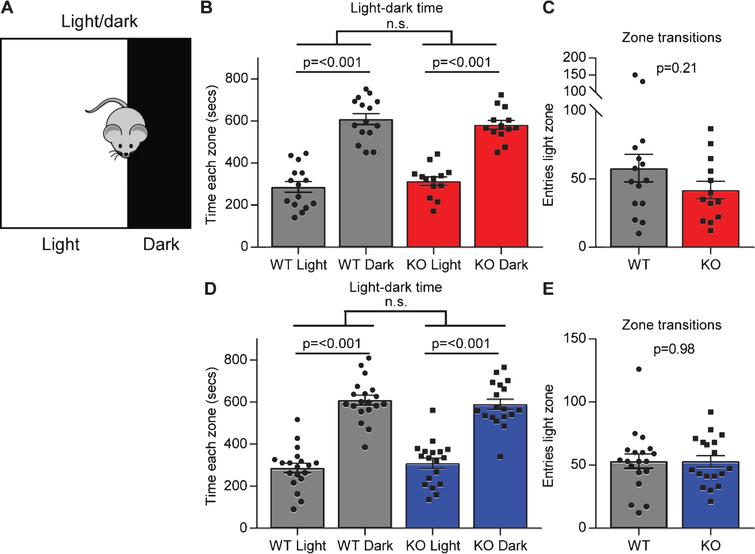 Gpc4 KO mice show no anxiety in the light-dark test. A. Schematic of the light-dark chamber used to test anxiety. B-C. Gpc4 KO and WT P90 mice on a C57Bl6/J background are indistinguishable from each other in time spent in the light or dark chamber over a 15 minute period (B) and in transitions between the dark and the light zone (C). N = 15 WT, 13 Gpc4 KO. D-E. Gpc4 KO and WT P90 mice on an FVB background are indistinguishable from each other in time spent in the light or dark chamber over a 15 minute period (D) and in transitions between the dark and the light zone (E). N = 19 WT, 18 Gpc4 KO. Statistics by 2-way ANOVA (B, D) or T-test (C, E), bar graph mean±s.e.m., individual points represent mice.