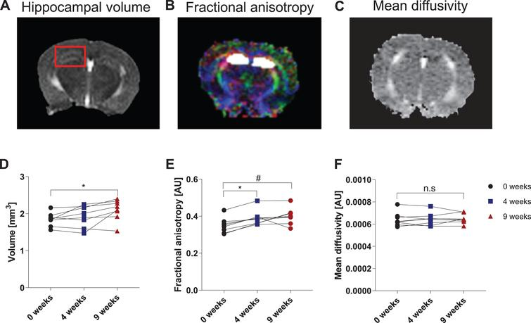 Voluntary running induces changes in hippocampal volume and microstructure as measured by DTI. Representative MRI images of hippocampal volume (A), fractional anisotropy (B), and mean diffusivity (C). The red box in (A) outlines the area of the hippocampal formation. The white area in (B) denotes the region of interest: the hippocampal formation, including CA1, CA2, CA3, and DG. The various colors in (B) represent orientation of the microstructure in space: red is lateral (from left to right), green is superior to inferior, and blue is anterior to posterior. Note the corpus callosum in red is traveling from left to right. (D) Hippocampal volume is shown in mm3. Data are expressed as mean ± SEM. *p<0.05 using repeated-measures one-way ANOVA. (E) Hippocampal fractional anisotropy (FA) and (F) mean diffusivity (MD) are depicted as arbitrary units (AU). Data are expressed as mean ± SEM. *p<0.001 and #p<0.01 are compared to baseline scan at 0 weeks using repeated-measures one-way ANOVA. n.s. = not significant, p>0.05.