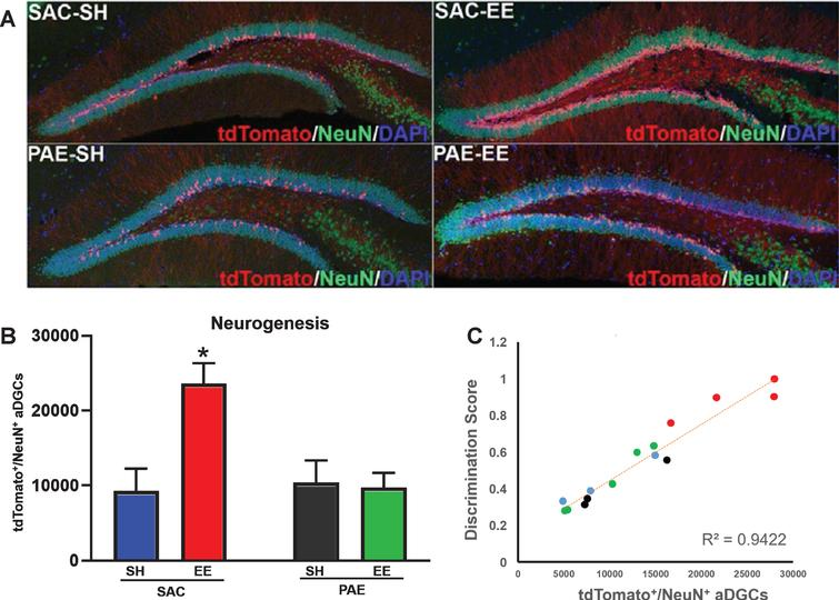 Impaired EE-mediated discrimination learning in PAE mice is directly correlated with impaired neurogenesis. A. Representative confocal microscopy images of coronal sections through the dorsal dentate gyrus demonstrating tdTomato+ aDGCs (red), NeuN+ mature postmitotic neurons (green), DAPI+ nuclear counterstain (blue). B. Number of tdTomato+/NeuN+aDGCs across groups (means±SEM). Two-way ANOVA statistics: alcohol treatment [F (1,11) = 5.83, p = 0.03)], housing [F(1,11) = 6.74, p = 0.02], alcohol treatment x housing interaction [F(1,11) = 8.07, p = 0.01]. *p = 0.02 SAC-SH vs. SAC-EE; p < 0.01 SAC-EE vs. PAE-EE (Tukey's post-hoc analysis). N = 4 mice/group. C. Behavioral performance as a function of neurogenesis. Colored circles correspond to data from individual mice from SAC-SH (blue), SAC-EE (red), PAE-SH (black) and PAE-EE (green); i.e., color convention as in B. Pearson correlation, R2 = 0.9422.