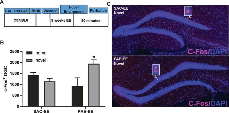 PAE-EE mice display broadened novelty-induced c-Fos expression within the dentate gyrus compared to SAC-EE mice. A. Experimental timeline. SAC and PAE C57Bl6/J mice were exposed to EE housing conditions for 8 weeks (SAC-EE and PAE-EE). Mice were then exposed to a novel environment for 30 minutes and sacrificed 80 minutes following return to home cage. SAC-EE and PAE-EE mice not exposed to novelty remained in home cage until sacrifice and served as controls. B. c-Fos immunofluorescence. Representative confocal images of c-Fos immunoreactivity (pink) within dorsal dentate gyrus in SAC-EE and PAE-EE mice following exposure to novel environment. Histological sections were counterstained with DAPI nuclear dye (blue). C. Quantification of c-Fos+ nuclei within the suprapyramidal blade of the dorsal dentate gyrus across groups (mean±SEM). Two-way ANOVA statistics: alcohol treatment x novelty interaction [[F (1,21) = 10.03, p = 0.005]. Tukey's post-hoc analysis revealed a significant impact of novelty on c-Fos+expression only in PAE-EE mice (*p = 0.01). Group n's are as follows: SAC-EE home cage (n = 5 mice across 5 litters) and SAC-EE novelty (n = 7 mice across 7 litters); PAE-EE home cage (n = 5 mice across 5 litters) and PAE-EE novelty (n = 8 mice across 8 litters).