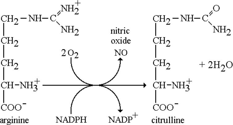 Biosynthetic pathway for the generation of NO. The reaction is catalyzed by nitric oxide synthase (NOS).