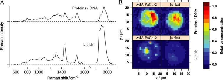(A) – N-FINDR end-members that represent spectra of lipid and protein/DNA mixture. (B) – concentration maps of the end-members in cells of Jurkat and MIA PaCa-2 cell lines.