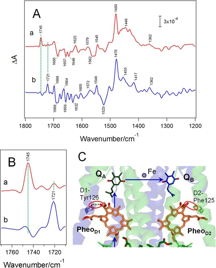 (A) Light-induced FTIR difference spectra upon single reduction of QB (a) and QA (b) of Mn-depleted PSII core complexes isolated from Thermosynechococcus elongatus. (B) Expanded spectra of the ester C=O region of the QB−/QB (a) and QA−/QA (b) difference spectra. (C) Hydrogen-bond interactions of pheophytin electron acceptors located near QA and QB in PSII (PDB code: 3ARC [63]). Spectra in panels A and B are reproduced from Ref. [59].
