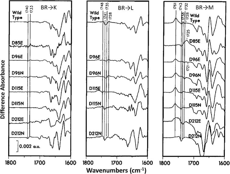 Comparison of FTIR difference spectra for WT and Asp → Asn, Glu substations in the BR amino acid sequence for the BR → K, L and M transitions recorded at low-temperature. Addition low-temperature studies on the BR → N [36] and BR → O transitions [37], as well as time-resolved FTIR difference measurements [37,40,41], led to an early model of the BR proton pump mechanism. (Adapted from [42].)