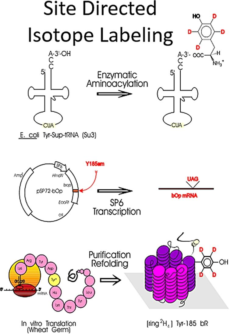 Major steps in site-directed isotope labeling (SDIL) of proteins (adapted from [227]).