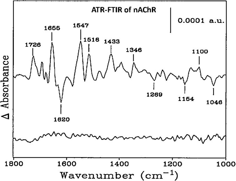 FTIR difference spectra of affinity purified and reconstituted nAChR membranes. Top, spectra recorded in the presence and absence of 50 µM carbamylcholine, and Bottom, consecutive spectra recorded with buffer flowing past the nAChR film. Both difference spectra are the average of 20 1,000-scan difference spectra, each recorded at 22.5°C and at a resolution of 8 cm−1 (adapted from [11]).